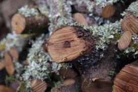 El Govern tiene confirmados 547 casos de Xylella en 16 especies vegetales