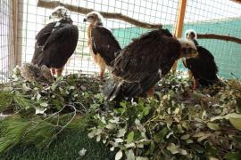 Acaba con éxito el Plan de Reintroducción del águila 'coabarrada' en Mallorca
