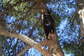 Talan un pino centenario en Calvià al que alcanzó un rayo
