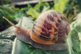El caracol zurdo mallorquín, candidato a secuenciar su genoma