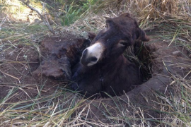 Los Bombers de Mallorca rescatan a un burro atrapado en la finca de Galatzó