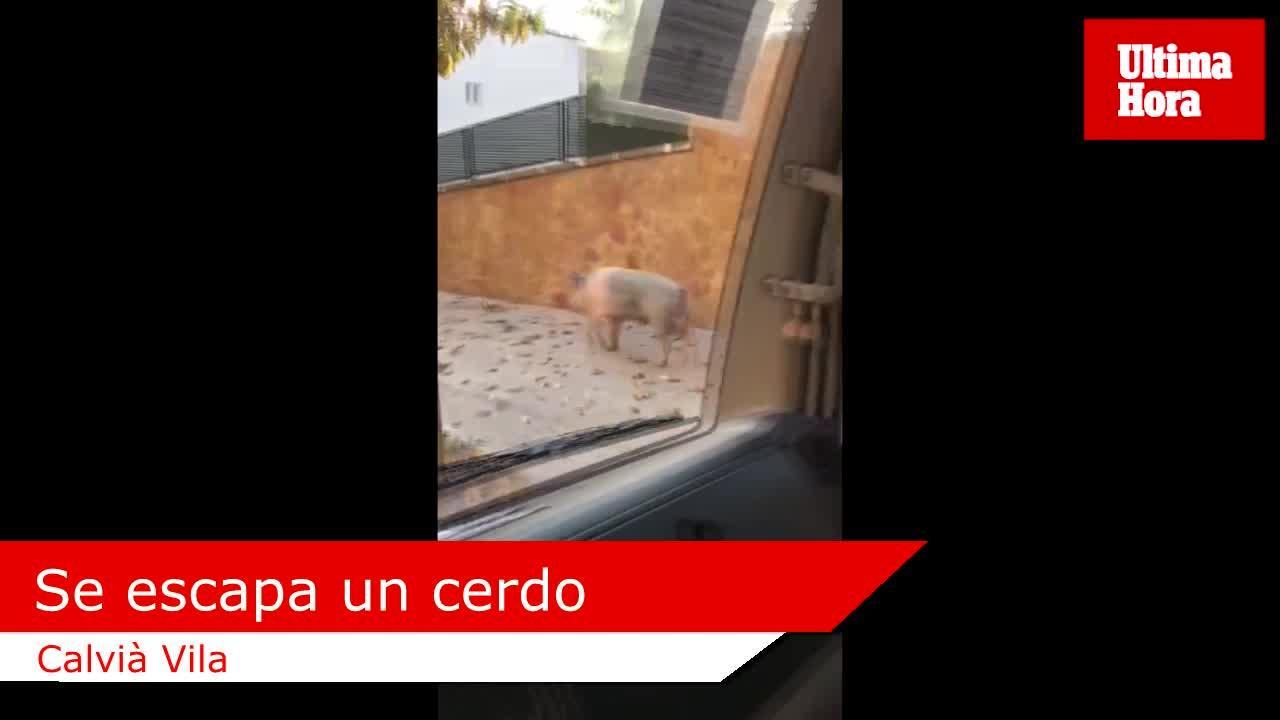 Graban a un cerdo por las calles de Calvià Vila