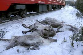 Más de cien renos mueren en un fin de semana en Noruega arrollados por trenes