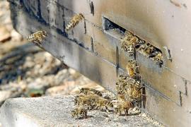 Las población de abejas desciende en algunas zonas de Mallorca hasta un 60%