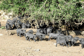 Los ganaderos agotan las existencias de 'porcella' mallorquina para esta Navidad