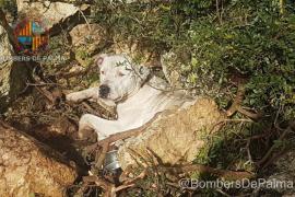 Los bomberos de Palma rescatan a un dogo argentino atrapado en Son Gual