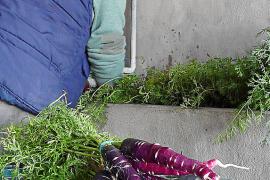 El resurgir de la zanahoria morada