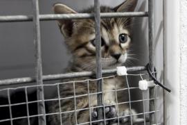 Esterilizan a unos 150 gatos en una campaña en Calvià