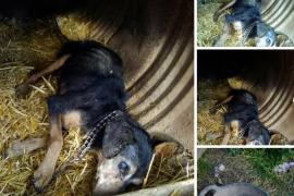 Denuncian la muerte de un perro maltratado en una finca de Santa Margalida
