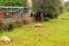 Cinco perros provocan una matanza de ovejas en una finca de las afueras de Inca