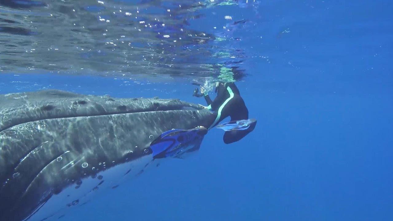 La ballena que salvó a una submarinista del ataque de un tiburón, en acción