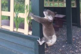 Un koala clavado a un poste levanta una ola de indignación en Australia