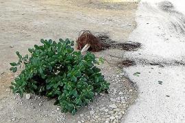 Jóvenes borrachos arrancan árboles y plantas a la salida de una discoteca de Andratx