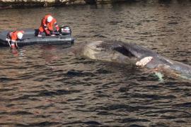 Salvamento Marítimo remolca el cadáver de un cetáceo hasta una cala de Pollença