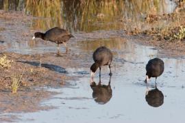 Más de 11.800 aves acuáticas de 58 especies diferentes pasan el invierno en las albuferas de Mallorca