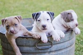 Tres investigados por sepultar vivos a nueve cachorros en una finca en Murcia