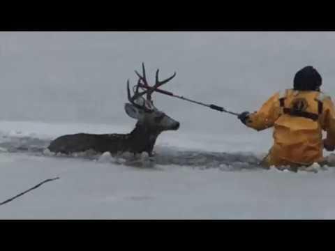 Los bomberos salvan la vida a un ciervo que cayó a un lago helado