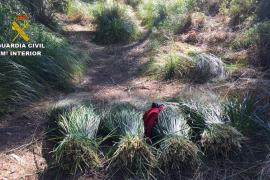 La Guardia Civil denuncia a seis personas por cortar plantas en un espacio protegido de Capdepera