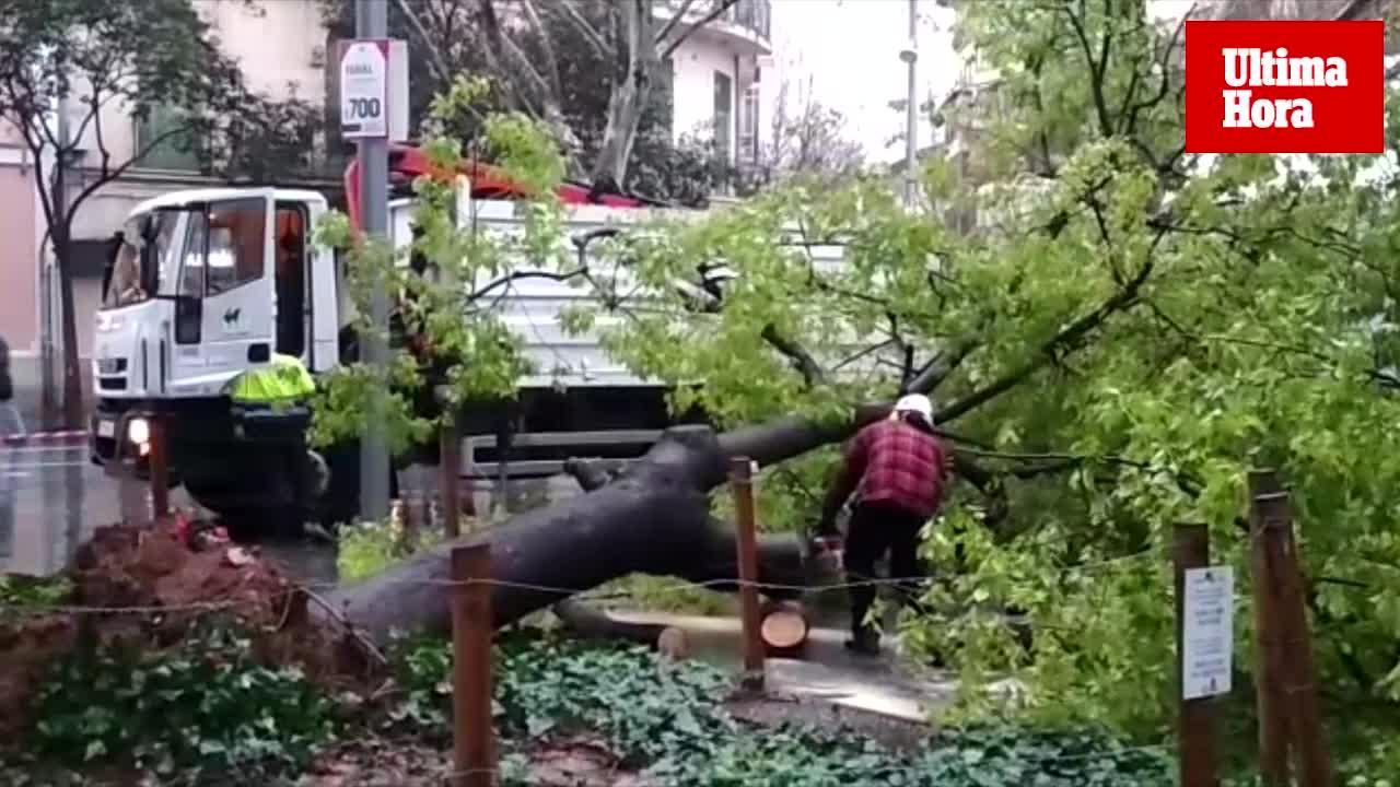 Cae un árbol en la plaza de España de Palma debido al temporal