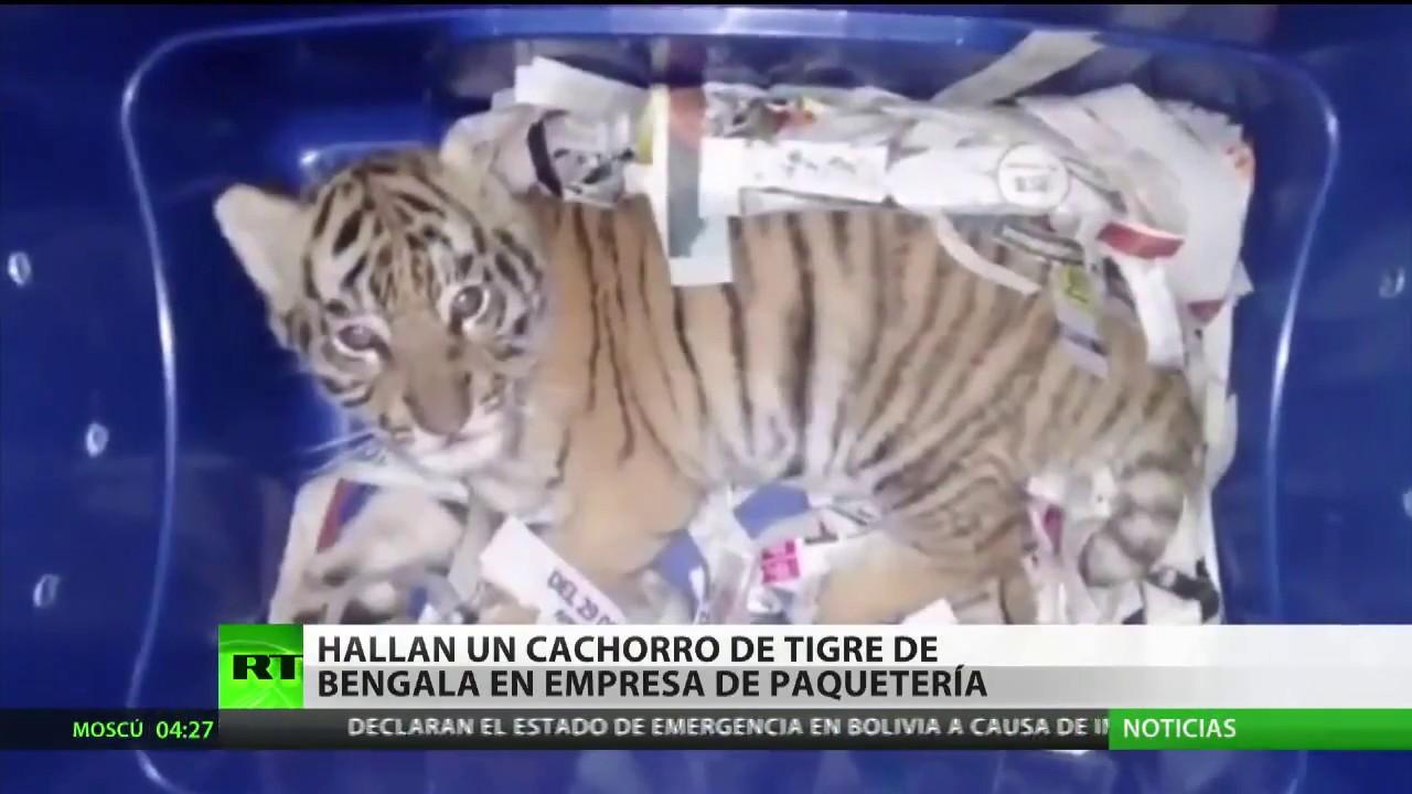 Una empresa de mensajería descubre un paquete con un cachorro de tigre de Bengala