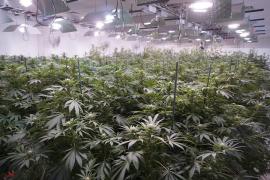 2 detenidos y 434 plantas de marihuana intervenidas en Algaida