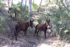 Dos grupos de burros refuerzan las actuaciones en prevención de incendios forestales en Mallorca