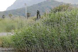 Una nueva laguna de 4 hectáreas permitirá recuperar hábitats primitivos en s'Albufera