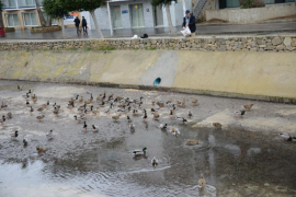 Rebelión de patos en el Torrent Galatzó de Santa Ponça