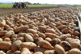 Los payeses temen que la crisis del pepino afecte a la exportación de patata