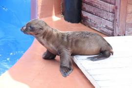 Un nombre para la cría de león marino en Marineland