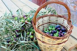 La oliva de Mallorca podrá tener denominación de origen