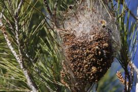 Atendidos 18 niños al caerles un nido de orugas mientras jugaban en el patio del colegio