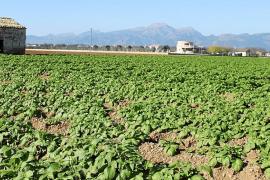 La plantación de patatas de sa Pobla se salva de la segunda helada del año