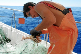 La sobreexplotación provoca que la mitad de las langostas pescadas en aguas de Menorca se devuelvan al mar al no tener la talla mínima legal