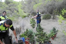 Descubiertas dos grandes plantaciones de marihuana en Andratx y Algaida