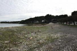Salvem Portocolom denuncia la destrucción de una plantación de 75 árboles en Cas Corso
