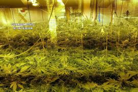 Desmantelada una plantación de marihuana en una casa de Llucmajor