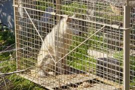 Medi Ambient identifica a todos los perros responsables de los 37 ataques a ganado