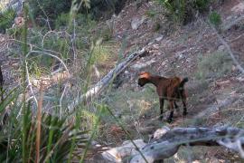 Podemos rechaza que se impulse el turismo de caza de la cabra mallorquina
