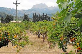 Condenado a un año de cárcel por robar naranjas en una finca de Palma