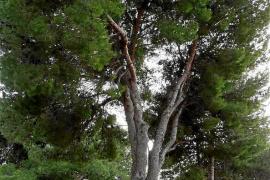 La procesionaria obliga a talar ocho de los emblemáticos pinos centenarios de Artà