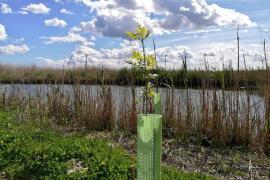 Siembran 6.800 árboles en s'Albufera para recuperar el bosque de ribera
