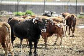 La plaza de toros de Inca albergará el Domingo de Resurrección un festival que puede convertirse en el fin del espectáculo taurino de Mallorca