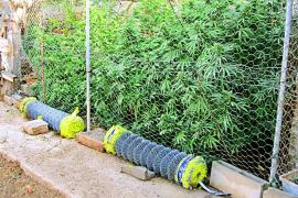 La Guardia Civil 'cosecha' la tercera plantación de marihuana en Algaida en apenas diez días