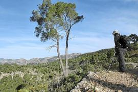 Los pinos de sa Comuna de Bunyola afectados de forma grave por una plaga de 'Tomicus'