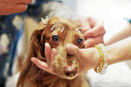 La acupuntura y nuestros animales