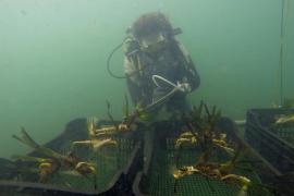 La bahía de Pollença acoge el proyecto de restauración de dos hectáreas de posidonia