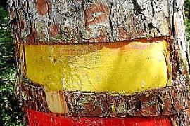 Señales de 'trekking' incrustadas en cortezas de pinos en Sant Elm indignan a los senderistas