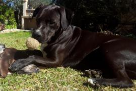 Buscan a un perro desaparecido en la zona de Formentor