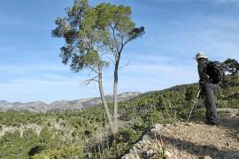 La plaga que amenaza sa Comuna de Bunyola ha matado 250.000 pinos en el Maresme